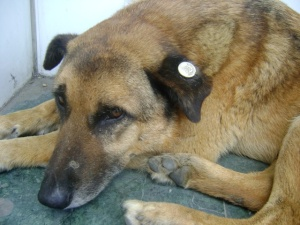 Currently, stray dogs are tagged, vaccinated, spaded to protect against rabies and other health issues in the city. Source: Google Images